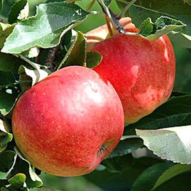 Як саджати яблуні? 1