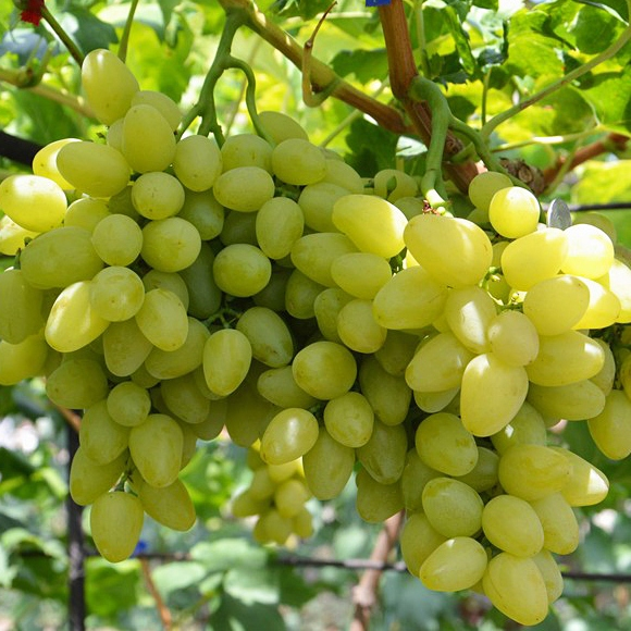 саженцы винограда весной