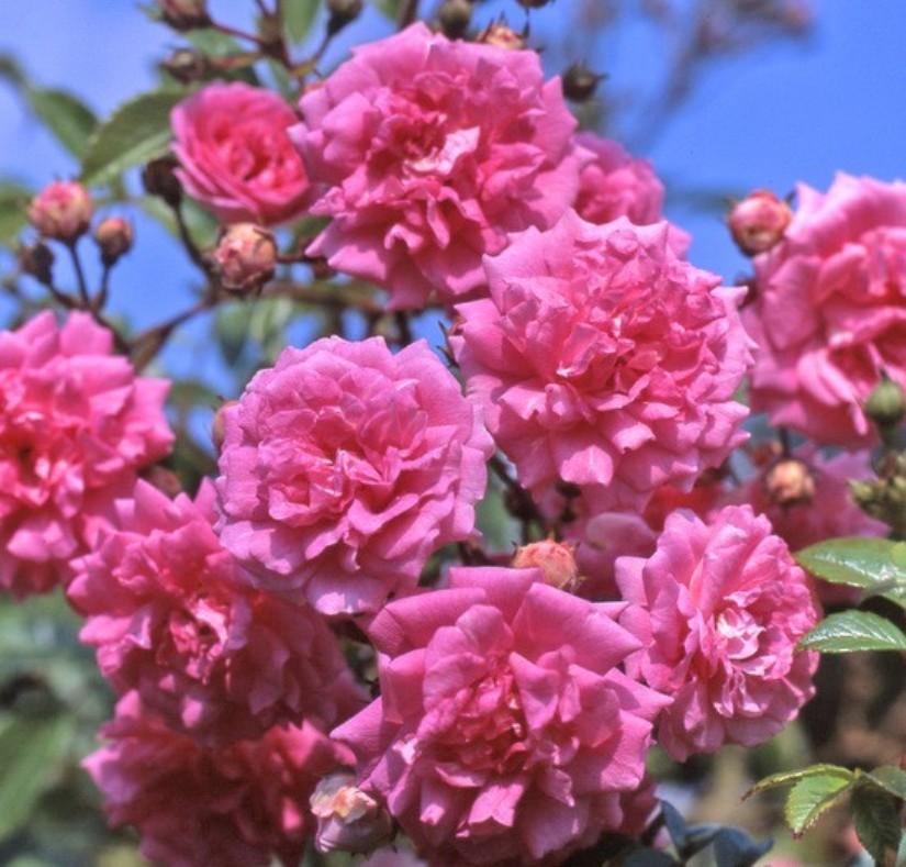 саджанці плестистої троянди