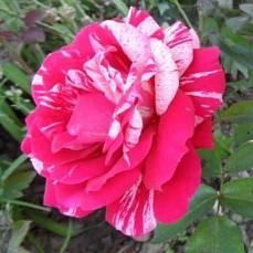 Роза Пасадена