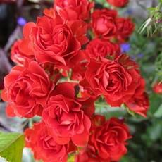 Роза Скарлет