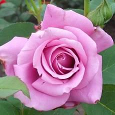 Роза Леди Икс