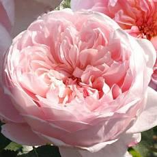 Роза Утренняя Улыбка