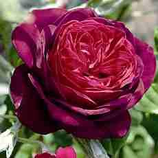 Троянда Графиня Астрід