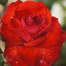 Роза Камара