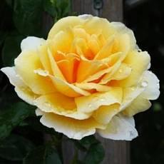 Роза Голдштерн