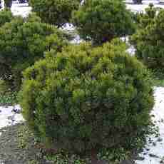 Сосна горная Мугус (Контейнер С5)