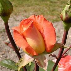 Роза Амбасадор