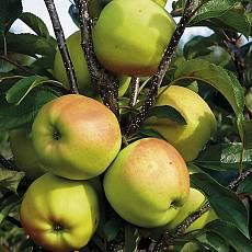 Яблоня Голден Делишес (3 года, 100 шт)