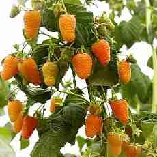 Малина Оранжеве Чудо