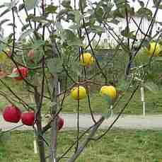 Яблоня Деличия-Дельбара-Джонаголд