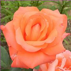 Роза Доунж