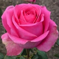 Роза Цикламен
