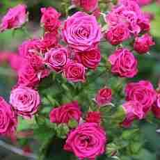 Роза Любимая Лидия