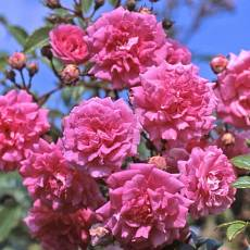 Роза Супер Дороти