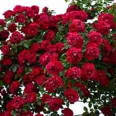 Роза Ред Фемели