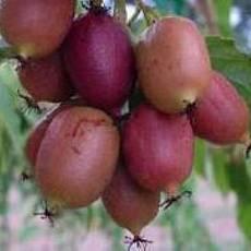 Актинидия Пурпурная