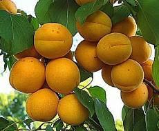 Абрикос Лимонный