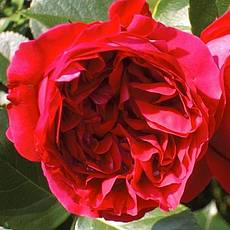Роза Ред Еден Роуз