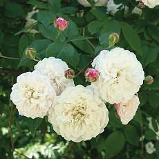 Роза Семейная Вальс