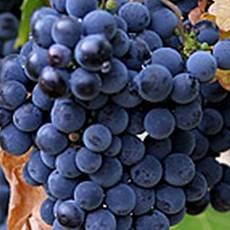 саженцы винограда САДКО