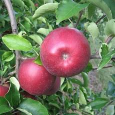 Яблоня Ред Джонапринц (100 шт)