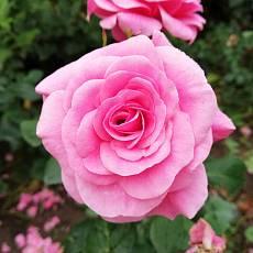 Роза Семейная Пинк Фемели