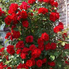 Роза Фламентанц