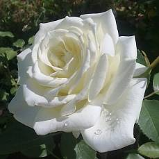 Роза Поларштерн