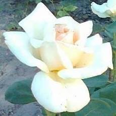 Роза Илена