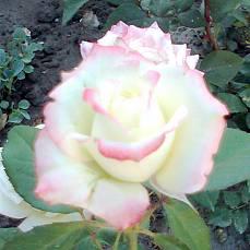 Роза Атена