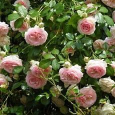 Роза плетиста Эден Роуз