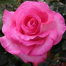 Роза Эсмиральда