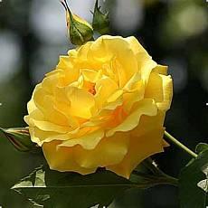 Роза Голден Дей