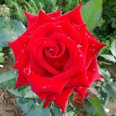 Роза Анкор
