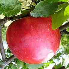 Яблоня Деличия (5-ти летка)