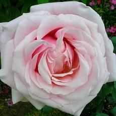 Роза Королева Анна