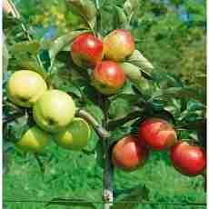 Яблоня Деличия-Голден-Чемпион