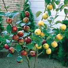 Яблоня Деличия-Гала-Дельбара