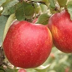 Яблоня Джона Голд Декоста