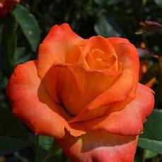 Роза Миракла