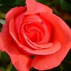Роза Монтезума