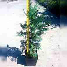 Кипарисовик Лавсона Колумнарис (50-60 см)