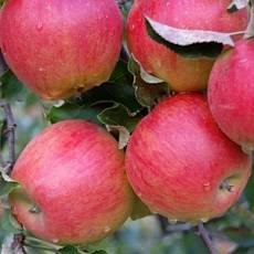 Яблоня Джона Голд