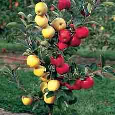 Яблоня Деличия-Лигол-Амулет