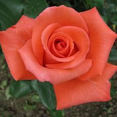 Роза Леди Роуз